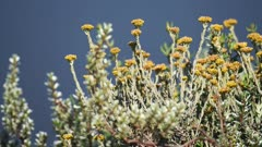 Yellow wild flowers bloomed in the savannah, Kenya, slightly moving in the wind