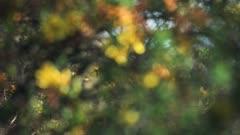 Focus on yellow flowers bloomed on a tree in the savannah, Kenya