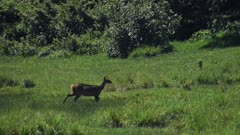 A beautiful deer cautiously walking across the green grass plains of Aberdares, Kenya - slow motion