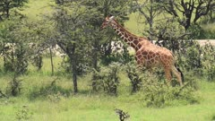 A giraffe walking through the green trees and bushes of Kenya, Africa - close up pan