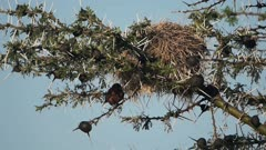 Weaver Bird Nests On The Thorny Tree Branch In El Karama Eco Lodge In Kenya - Low-Angle Shot