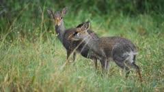 A Couple Of Two Dik-dik on wildlife safari in Kenya