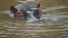 A Hippo playing, Standing Up And Sinking In The Brown Water In Sosian Lodge In Kenya. -close up shot
