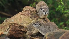 A Couple Of Rock Hyrax, Cape Hyrax Resting On Top Of The Rock In Sosian Lodge In Kenya.- closeup shot