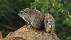A Pair Of Rock Hyrax on The Tip Of The Rock Looking In Opposite Directions In Sosian Safari In Kenya. -medium shot