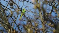 Green Parakeet Bird Perched on Tree Branch - Animal Wildlife in United Kingdom - 4k Static Low Angle