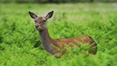 Beautiful female red deer standing between green plants turning head around