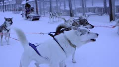 Beautiful husky babies ready for a sledding adventure in the snow - slowmo