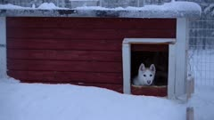 A Family Of Gray Siberian Husky Running Out Of The Red Dog House In Lapland Region. -medium shot