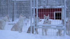 Puppies Of The Siberian Husky Breed Inside The Steeled Fence Cage In Lapland Region, Finland. -medium shot