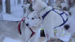 A Pack Of Siberian Husky With A Colorful Harness In The Region Of Lapland, Finland. -close up shot