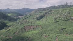 Tea plantations landscape in the mountains. Aerial drone view