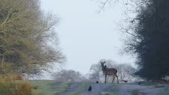 A beautiful deer standing in the middle of tree bushes looking at the camera - close up