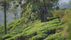 Drone flying over tea plantations, in Munnar, India