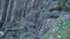 Wild flowers and hexagonal geological formations close up view, Giant Causeway, northern Ireland