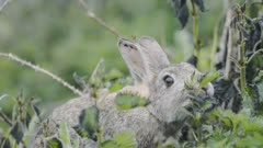 A Hare Feeding On The Green Leaves Of The Plants In Skomer Island, Wales - Closeup Shot