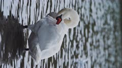 Vertical wildlife animal video of Swans (cygnus) on a lake, swimming in the water, British birds in Richmond Park, England, UK