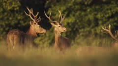 Herd of Male Red Deer Stags (cervus elaphus) during deer rut at sunset in beautiful golden sun light in fern and forest landscape and scenery, British wildlife in England, UK