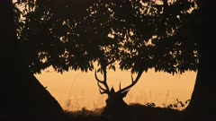 Silhouette of Male Red Deer Stag (cervus elaphus) and its antlers during bright orange sunset in the woodland and forest landscape and scenery, British wildlife in England, UK