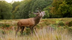 Male Red Deer Stag (cervus elaphus) during deer rut in beautiful fern and forest landscape and scenery, British wildlife in England, UK