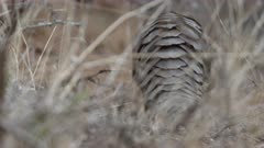 Temminck's Pangolin (Smutsia temminckii) walking and leaving the frame, South Africa