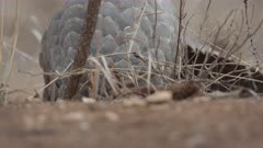 Temminck's Pangolin (Smutsia temminckii) digging for ants, South Africa