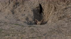 Black-backed jackal (Canis mesomelas) pup looks out of its burrow in the Okavango Delta, Botswana