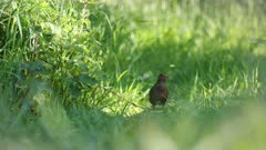 Eurasian blackbird (Turdus merula) hopping through undergrowth on a farm in Britain