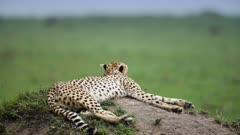 Cheetah (Acinonyx jubatus) lying on a termite mound in Kenya's Maasai Mara