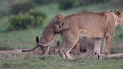 Lion (Panthera leo) cub play fights with its mother in Kenya's Maasai Mara