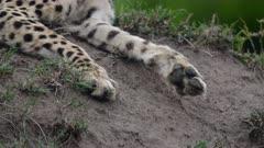 Cheetah (Acinonyx jubatus) feet detail in Kenya's Maasai Mara
