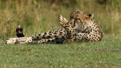 Cheetah (Acinonyx jubatus) grooming itself in Kenya's Maasai Mara