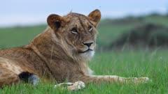 Lion (Panthera leo) looks around then rests in Kenya's Maasai Mara