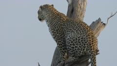 Leopard (Panthera pardus) in a tree in Kenya's Maasai Mara