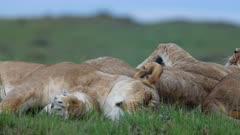 Lion (Panthera leo) rolls on its back while sleeping in Kenya's Maasai Mara