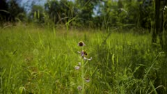 Bee orchid (Ophrys apifera) in flower in a meadow in Gloucestershire, Britain