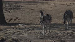 Zebras (Equus quagga) walking over dry ground towards a waterhole in Mapungubwe National Park, South Africa