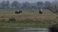 Elephants (Loxodonta africana) graze on the floodplains of Botswana's Okavango delta
