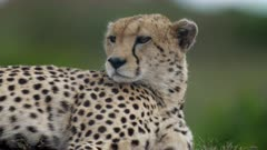 Cheetah (Acinonyx jubatus) raising its head while resting in Kenya's Maasai Mara