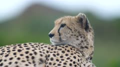 Cheetah (Acinonyx jubatus) looking while resting in Kenya's Maasai Mara