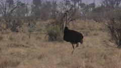 Male ostrich (Struthio camelus) in Botswana's Okavango Delta