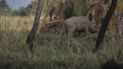 White rhinoceros (Ceratotherium simum) at Ziwa Rhino Sanctuary, Uganda