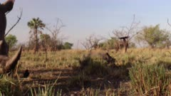 White rhinoceros (Ceratotherium simum) knocks over a remote camera at Ziwa Rhino Sanctuary, Uganda