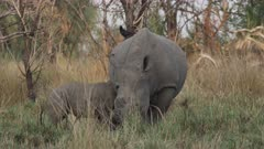 White rhinoceros (Ceratotherium simum) calf suckling while its mother feeds at Ziwa Rhino Sanctuary, Uganda