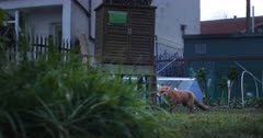 Red fox (Vulpes vulpes) on a tracking shot in an allotment in London, United Kingdom