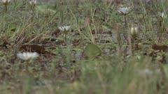 Rack focus of day water lilies (Nymphaea nouchali) in Botswana's Okavango Delta