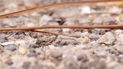 Purbeck Mason Wasp (Pseudepipona herrichii) removing spoil from its burrow on heathland in Dorset, United Kingdom