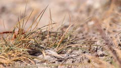 Purbeck Mason Wasp (Pseudepipona herrichii) arrives and enters its burrow on heathland in Dorset, United Kingdom
