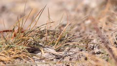 Purbeck Mason Wasp (Pseudepipona herrichii) at its burrow on heathland in Dorset, United Kingdom