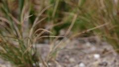 Purbeck Mason Wasp (Pseudepipona herrichii) flies through frame on the way back to its burrow on heathland in Dorset, United Kingdom